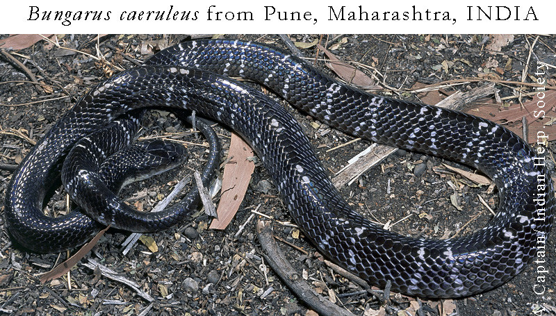 Common Krait (Bungarus caeruleus)